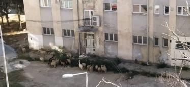 """Овците неизоставен """"декор"""" на елитната населба Златен Рид"""